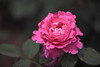 月季花20 (likerain2011) Tags: flowerthequietbeauty