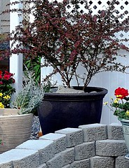 Marilyn's giant pot and dove (leszlaw) Tags: containergardening gardenstatuary