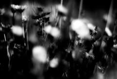 butterfliesInMyBrain [Explored] (niK10d) Tags: flowers leaves daisies contrast dark fionaapple pentaxk10d f50mmf14