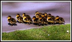 Follow the leader - (Explored 10/5/13) (The Old Brit) Tags: nature birds spring wildlife parks ducks ducklings chicks leaders ornithology southport anasplatyrhynchos springtime followers mallards merseyside brood naturalselection sefton followtheleader wildducks publicparks peckingorder bornleader heskethpark anasplatyrhynchosark