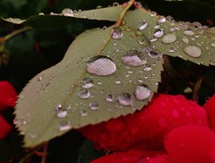 IMG_0467 (Lord Walt) Tags: city red usa flower reflection green apple nature water rose leaf airport view littlerock peaceful raindrops daytime arkansas tranquil cellphonephoto pulaskicounty centralarkansas iphone5 centralflyingservice waltphotos lordwalt