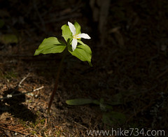"""Trillium • <a style=""""font-size:0.8em;"""" href=""""http://www.flickr.com/photos/63501323@N07/8733245885/"""" target=""""_blank"""">View on Flickr</a>"""