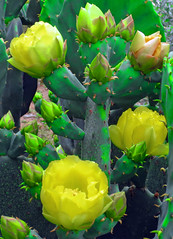 Rough and Gentle (Enchanticals) Tags: wild cactus orange plant flower green nature yellow cacti soft texas earth fluffy yellowflower round points bloom flowing rough spikes gentle untamed uninviting natureplus