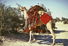 Dressed in all its finery (annkelliott) Tags: decorations animal desert middleeast camel colourful oldphotograph bushes doha qatar domesticated camelsaddle scanfromslide takenin1967 sheiknasserspicnic sheiknasser wovendressings