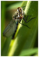 Blue Damselfly. (vegetus aer) Tags: damselfly cambridgeshire wildlifetrust woodwaltonfen nnr greatfen greatfenproject bcnwildlifetrust