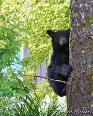Bear (RhondaRCallow) Tags: bear canada tree nature cub bc britishcolumbia wildlife vancouverisland blackbear goldriver