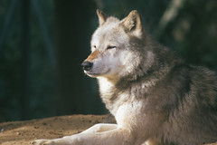 Waiting (FranklyVic) Tags: light sun nature animals zoo woods wolf wildlife pack alpha wolves