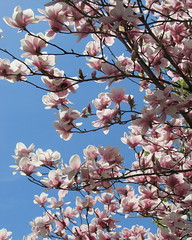 IMG_2117 (quirkyjazz) Tags: trees clouds spring lookingup magnolias blueskky