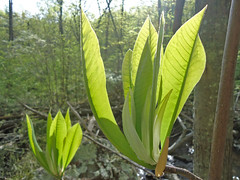 Umbrella Tree Leafs Breaking in The Spring (mhanlen1) Tags: camping trees nature creek forest outdoors nationalpark spring nps hiking blueridgeparkway appalachiantrail skylinedrive shenandoahnationalpark southfork turkgap moormansriver turkbranchtrail