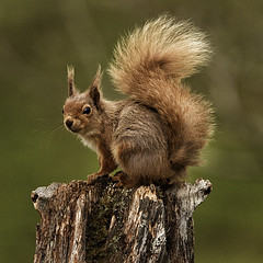 Red Squirrel (Hobo50) Tags: nature squirrel wildlife naturalhistory redsquirrel