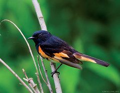 American Redstart by Jim Sullivan (jb.sullivan) Tags: county creek river bottom jim honey american sullivan vigo wetland redstart