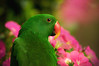 Kiwi (Proleshi) Tags: pink flowers orange green bird animal parrot naturallight 180 28 fowl kiwi eclectus josephs jamal redsided d300s proleshi jamaljosephs
