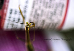 Sri Lankan praying mantis going through the classifieds (Kanishke Ganewatte Photography) Tags: prayingmantis