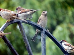 """What are you lot looking at?"" (Cardedfolderol) Tags: birds gate sparrow housesparrow gardenbirds"