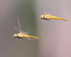 Dragonflies in Flight (Grandpa@50) Tags: two kind bigmomma herowinner challengeyouwinner friendlychallenges