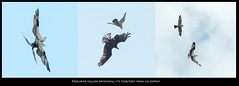 Peregrine and Osprey Encounter (KvonK) Tags: birds inflight triptych falcon raptors osprey birdsofprey peregrine defending