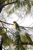 Rose-Ringed Parakeet (Martini DK) Tags: travel india tree bird parakeet newdelhi qutubminar roseringedparakeet martinidk travelerphotos canoneos40d sigma18250mm