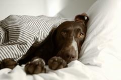 Good Night! (MilkaWay) Tags: eye ikea face georgia bed head birddog athens pillow tired blanket tessa athome paws gsp spoiled comforter germanshorthairedpointer 5yearsold clarkecounty