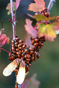 Photo - Rocky Mountain Maple with ladybugs