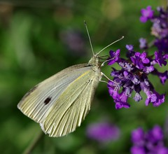 Large White on lavender (sasastro) Tags: flower butterfly insect lavender cabbagewhite largewhite cabbagebutterfly