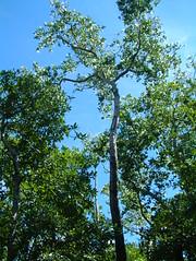 Sonneratia alba tree (J. B. Friday) Tags: mangrove palau lythraceae sonneratia sonneratiaalba