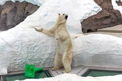 2013 08 01 (Copanda_) Tags: polarbear dea  uenozoo