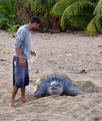 A local helps cool off a beached Leatherback Turtle at Grande Riviere, Trinidad. (One more shot Rog) Tags: beach nature swim big turtle wildlife large turtles trinidad beached caribbean tobago loggerhead ashore swims grandriviere migrate loggerheadturtle sheell