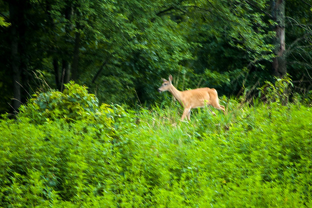 Stillwater Marsh - Whitetail Deer - August 2013