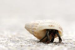 DSC_9724 (enekotas) Tags: macro fauna crab hermit cangrejo ermitaño
