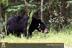 IMG_2114.jpg (sebastianaverdunk) Tags: nationalpark sommer urlaub bär reise kanada schwarzbär nordamerika 2013