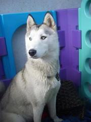 Luna - Adopted (Steve Attwood) Tags: dog husky spitz huskyrescue
