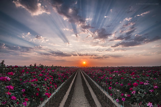 Rose Field at Sunset