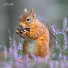 Red Squirrel (Col-Page) Tags: