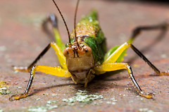 Lemon Lime 2 (Steven Ellingson) Tags: red orange detail macro green nature animals yellow closeup bug insect outdoors rust close wildlife insects bugs micro grasshopper microscopic