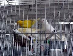 Catania - 10 Mostra ornitologica Internazionale FOI - Canarini lipocromici (Luigi Strano) Tags: birds uccelli foi sicily catania sicilia mostraornitologica