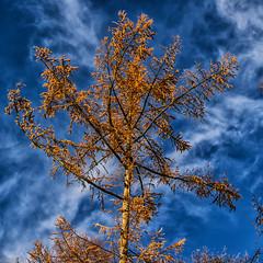 Herfst 15 november 2013 (Caesar56) Tags: herfst leersum larix utrechtseheuvelrug lariks