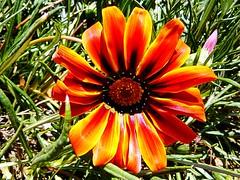 Flor (Valparaiso, Chile) (Cris Photos (Thanks for 1,5 Million views)) Tags: ocean chile flowers sea naturaleza flores flower nature valparaiso mar edificios flor oceano