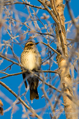 Dusky Thrush (Turdus eunomus) (www.bigramphotography.com) Tags: alaska ak anchorage dusky thrush duskythrush rarebird ebird