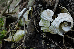 Ancient Sea Shell Midden (Mary Ann Moses Photography) Tags: park wild tree nature ancient nikon feeding florida decay roots shell nativeamerican seashell prehistoric campsite capesanblas midden shellmidden