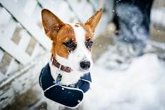 Candy in the Snow (Julia Rose Photography) Tags: dog pets snow candy jackrussell jackrussellterrier petportrait