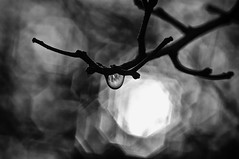 drop black (HJK Photography) Tags: light blackandwhite bw white black reflection monochrome silhouette backlight mono glow shine bokeh drop twig droplet backlit lowkey