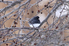 fat junco (grace*c*) Tags: winter snow tree bird home junco fluffy feathered 2014