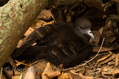 wedge tailed shearwater-7027 (Henry.Cook) Tags: new wild nature wales island wildlife south australia lord shearwater howe puffinuspacificus wedgetailed