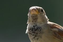 house sparrow (altan o) Tags: house sparrow