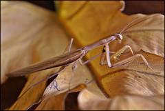 Mantis (gilxxl) Tags: insectos portugal sony natureza castanho louvaadeus tondela dslra100 mygearandme mygearandmepremium mygearandmebronze mygearandmesilver mygearandmegold mygearandmeplatinum gilbertooliveira ruby10 photographyforrecreationeliteclub ruby15 ruby20 gilxxl