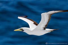 MASKED BOOBY BIRD - Sula dactylatra (mark_rutley) Tags: cruise vacation holiday bird barbados caribbean seabird boobybird maskedboobybird