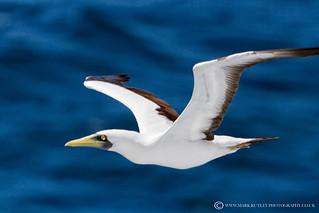 MASKED BOOBY BIRD - Sula dactylatra