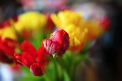 f1.4 (nikkorglass) Tags: art home colors 35mm easter tulips bokeh f14 sigma hemma färger påsk tulpaner sigma35mmf14dghsmart