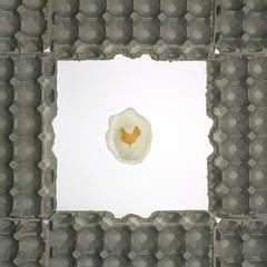 eggs (~Abby) Tags: food chicken farm farming egg harvest agriculture hen leghorn eggflats abigailroseking animalproductsseries