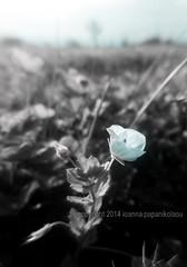 04.27.2014 veronica (joanna papanikolaou) Tags: veronica persica weed speedwell field common flower closeup macro blackandwhite bw ciel floral nature artbyjwp photography